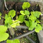 рассада огурцов, семена огурцов, рассада, посадка огурцов,выращивание огурцов