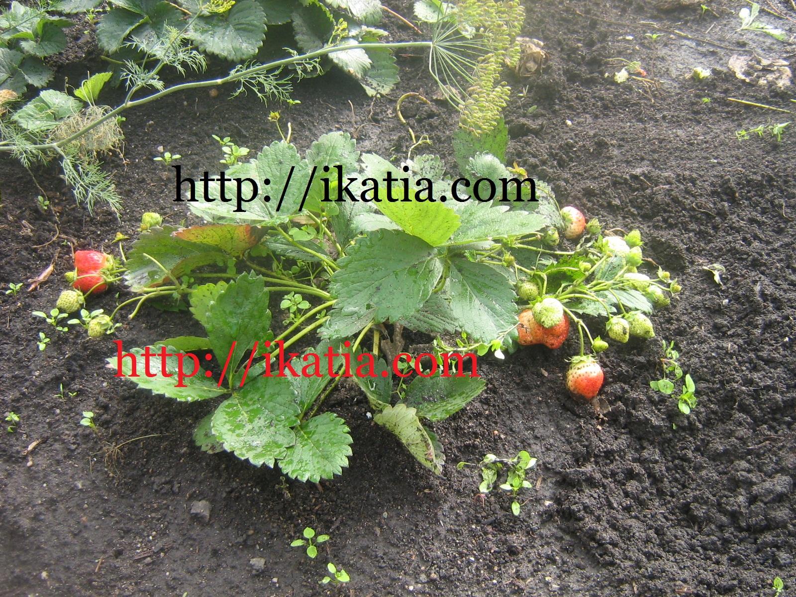 Выращивание клубники: сорта, какие ...: ikatia.com/cad/vyirashhivanie-klubniki-sorta-kakie-rabotyi-provodit...