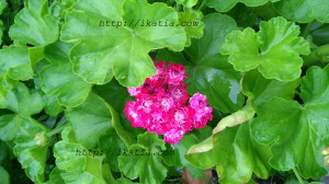 цветок, махровая герань