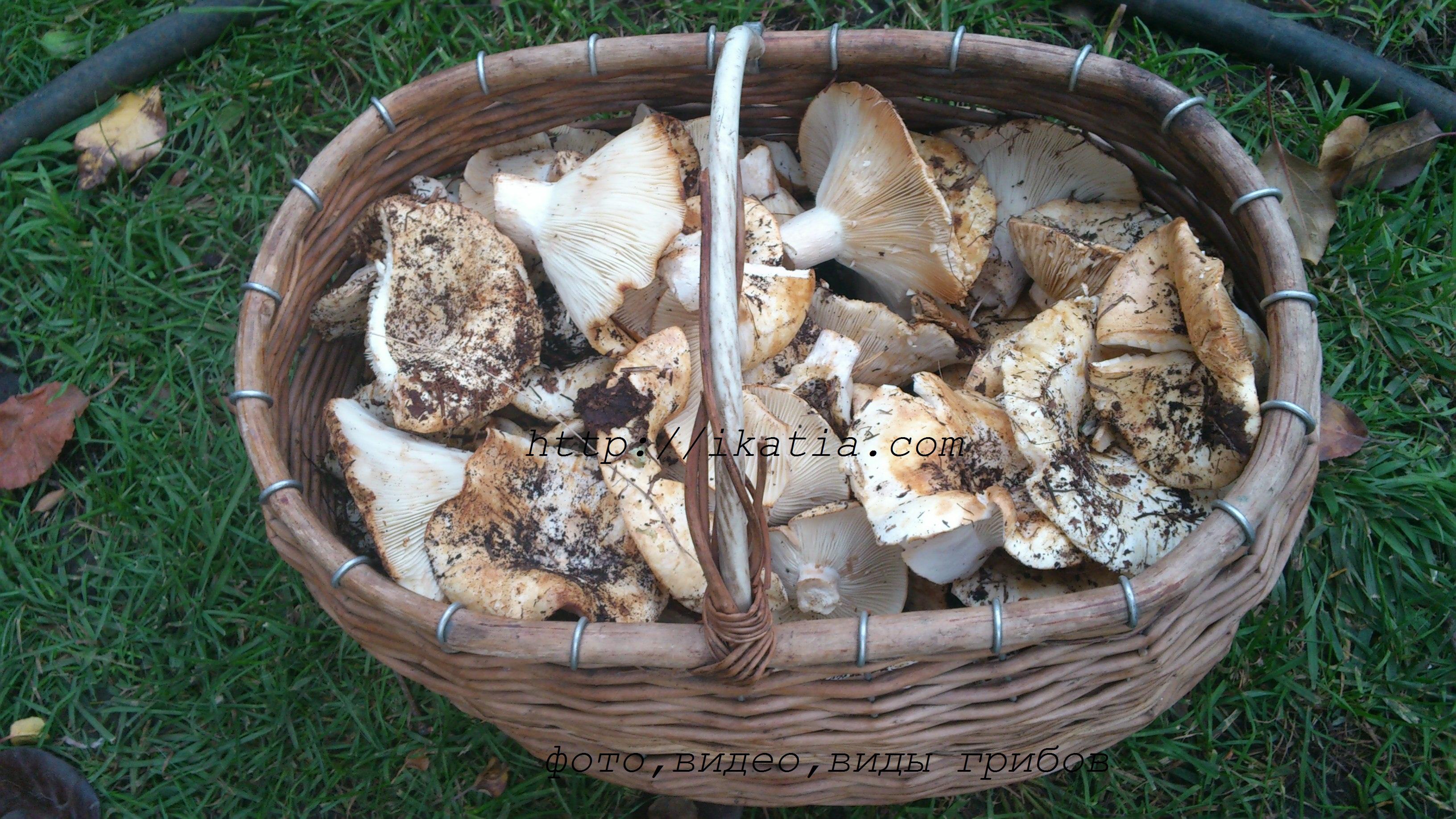 Съедобные грибы лесные с фото сбор и