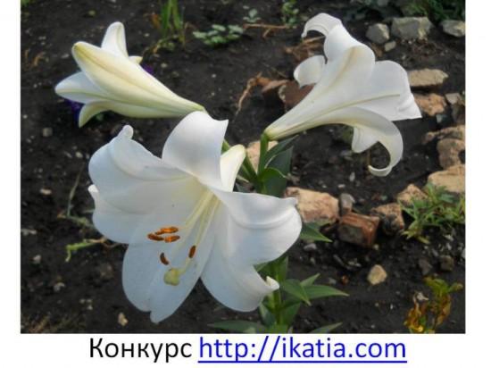 лилии